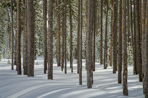 Winter, tree trunk group, Yellowstone National Park, Wyoming, USA