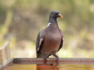 Wood pigeon , ( Columba palumbus ), Bird columbiforme of the family Columbidae