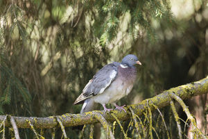 Wood Pigeon -Columba palumbus-, Bavaria, Germany