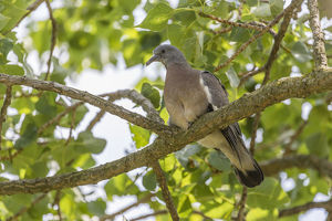 Wood Pigeon -Columba palumbus-, young bird perched on a branch, Seewinkel, Burgenland