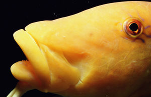 Yellow goatfish (Parupeneus cyclostomus), close-up