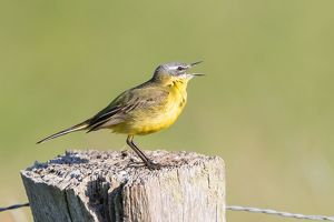 wilfried martin nature photography/yellow wagtail motacilla flava fence post lower