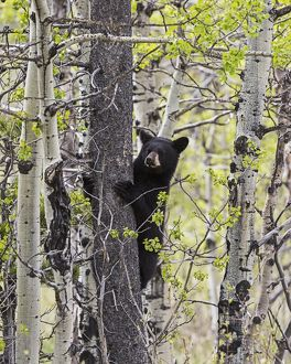collections/design pics/young black bear ursus americanus tree waterton