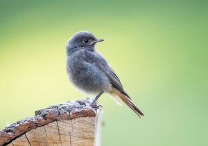 wilfried martin nature photography/young black redstart phoenicurus ochruros hesse