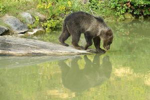 Young Brown Bear -Ursus arctos-, drinking, with its reflection in the water, captive