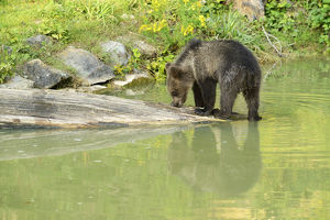 Young Brown Bear -Ursus arctos- with its reflection in the water, captive, Wildlife Park Langenberg