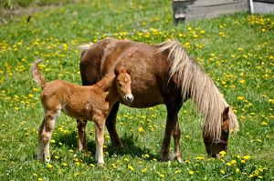 A very young horse is standing beside it's mother