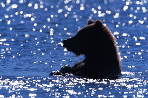 Young male brown bear (Ursus arctos) in river