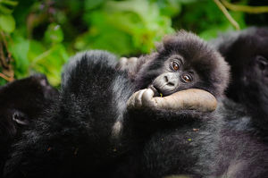 A young mountain gorilla (Gorilla beringei beringei) resting his head on the foot