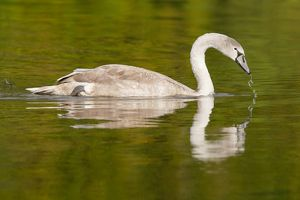 Young Mute Swan -Cygnus olor-, North Hesse, Hesse, Germany