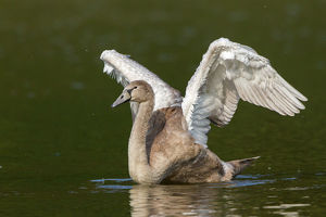 Young Mute Swan -Cygnus olor- spreading wings