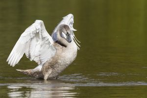 Young Mute Swan -Cygnus olor-, spreading its wings, North Hesse, Hesse, Germany