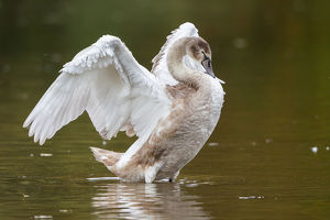 Young Mute Swan -Cygnus olor- standing in water, flapping its wings, North Hesse