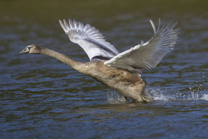 Young Mute Swan -Cygnus olor- taking off from water, North Hesse, Hesse, Germany