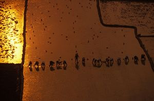 Aerial photograph of rice planters at sunset,