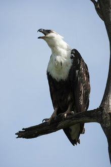 photographer galleries/mary ann mcdonald/african fish eagle haliaeetus vocifer