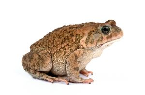 animals/frogs toads/african toad bufo regularis