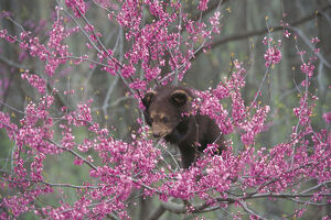 photographer galleries/nature production collection/american black bear ursus americanus