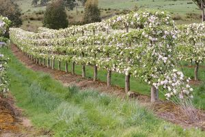 Apple trees in blossom,