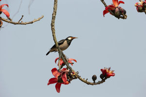 photographer galleries/joe mcdonald/asian pied starling gracupica contra