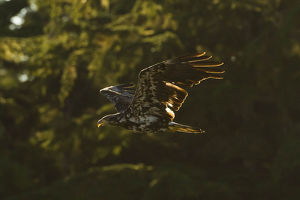 photographer galleries/mary ann mcdonald/bald eagle haliaeetus leucocephalus
