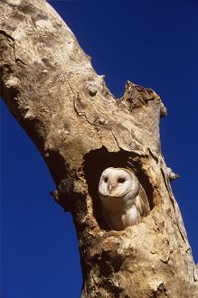 Barn owl (Tyto alba), Western New South Wales, Australia