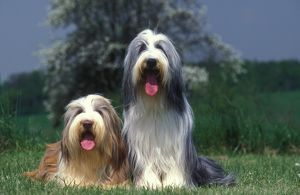photographer galleries/jean michel labat/bearded collie