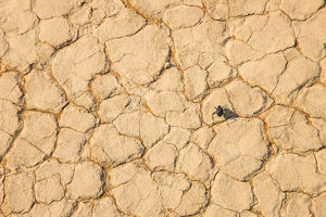 A beetle on cracked earth in the Namib Desert