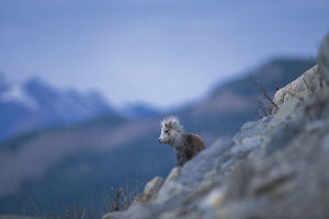 photographer galleries/nature production collection/bighorn sheep ovis canadensis
