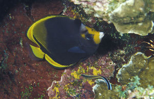 photographer galleries/mark spencer/black butterflyfish chaetodon flavirostris