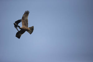 photographer galleries/joe mcdonald/booted eagle hieraaetus pennatus
