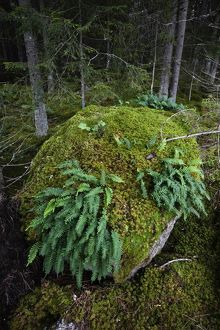 Boulder in primeval temperate forest covered with moss and Common polypody ferns