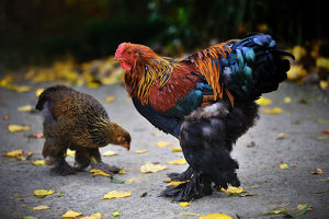 Brahma rooster and hen (Gallus domesticus)
