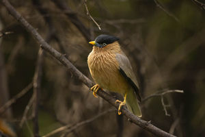 photographer galleries/joe mcdonald/brahminy starling sturnus pagodarum