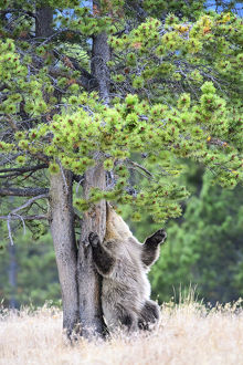 Brown or Grizzly bear (Ursus arctos horribilis)