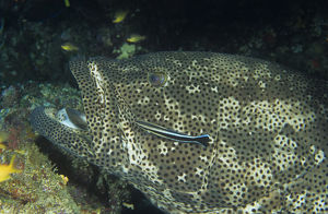 photographer galleries/mark spencer/brown marbled grouper epinephelus fuscoguttatus