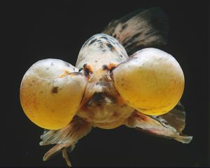 underwater world/calico bubble eye goldfish carassius auratus var