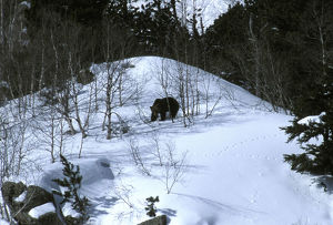 Cantabrian brown bear (Ursus arctos horribilis)