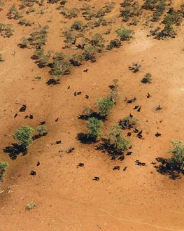 Cattle in desert,