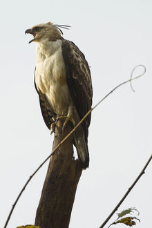 photographer galleries/mary ann mcdonald/changeable hawk eagle nisaetus cirrhatus