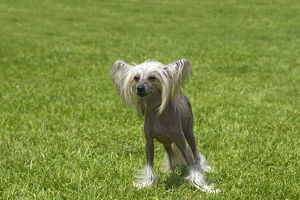 Chinese hairless crested dog (Canis familiaris)
