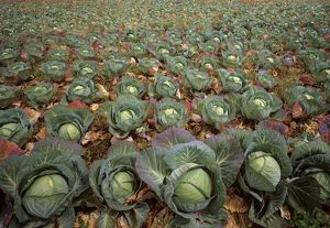 Commercial cabbage crop (Brassica oleraceae)