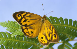 photographer galleries/roger brown/common western brown butterfly heteronympha