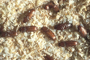 photographer galleries/nature production collection/confused flour beetles tribolium confusum