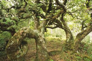 Contorted myrtle on Gunung Mutis,