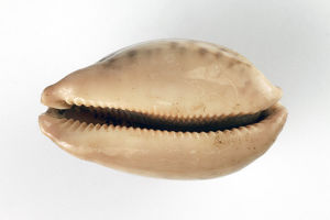 Cowrie or Porcelain shell