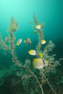 photographer galleries/mark spencer/crochet butterflyfish chaetodon guentheri