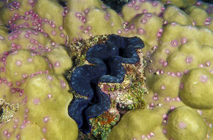 photographer galleries/mark spencer/crocus giant clam tridacna crocea