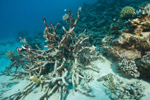 photographer galleries/mark spencer/dead coral acropora sp