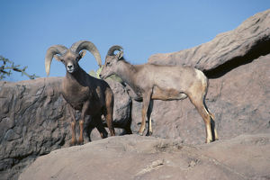 photographer galleries/nature production collection/desert bighorn sheep ovis canadensis nelsoni